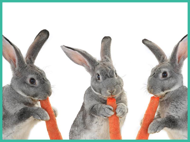 Hasen mit Karotten Kleintierarzt